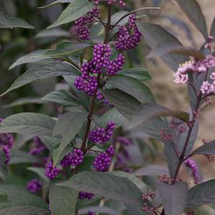 Callicarpa 'Purple Pearls'-#3 Container<br />Purple Pearls Beautyberry