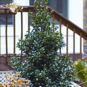 Ilex X Meserveae 'Castle Spire&#174;'-#2 Container<br />Castle Spire&#174; Holly