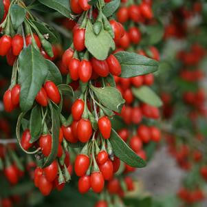 Lycium barbarum 'Sweet Lifeberry'-#2 Container<br />Sweet Lifeberry? Goji Berry