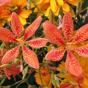 Belamcanda chinensis-#2 Container<br />Leopard Lily