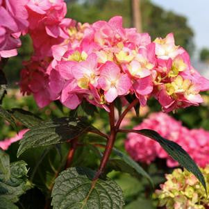 Hydrangea macrophylla 'Bloomstruck'-8`` Container<br />Bloomstruck Endless Summer Hydrangea