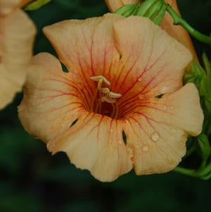 Campsis x tag. 'Summer Jazz Sunrise Gold' - 2 Gal.