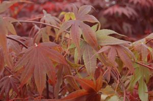 Acer palmatum 'Bloodgood'-#3 Container<br />Bloodgood Japanese Maple