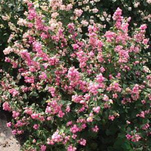 Symphoricarpos X Doorenbosii 'Candy'-#3 Container<br />Candy&#8482; Snowberry