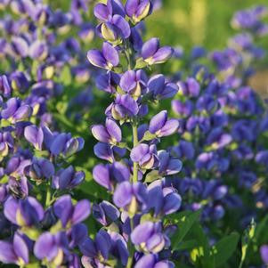 Baptisia Decadence&#174; 'Blueberry Sundae'-#1 Container<br />Blueberry Sundae False Indigo