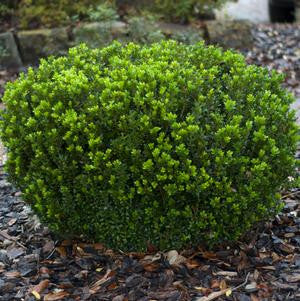 Buxus microphylla Var. Japonica 'Baby Gem'-#3 Container<br />Baby Gem Boxwood