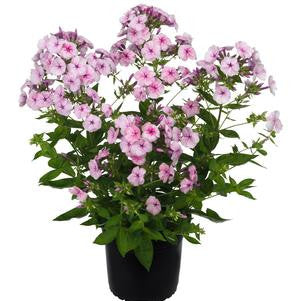 Phlox volcano 'Pink With Dark Eye'-#1 Container<br />Volcano? Soft Pink with Dark Eye Garden Phlox