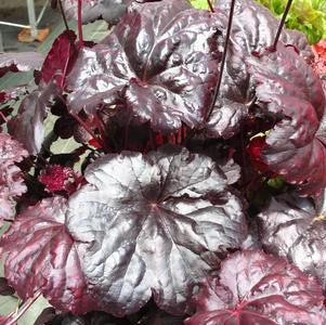 Heuchera villosa 'Black Sea'-#1 Container<br />Black Sea Coral Bells