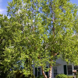 Betula nigra 'Heritage'-#7 Container<br />Heritage River Birch