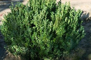 Buxus microphylla Var.Japonica 'Green Mountain'-#2 Container<br />Green Mountain Boxwood