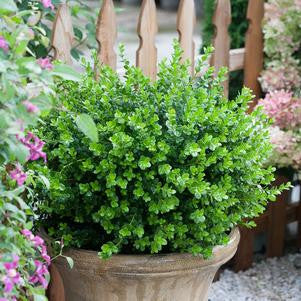 Buxus microphylla 'Sprinter&#174;'-#3 Container<br />Sprinter&#174; Boxwood