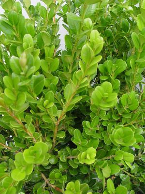 Buxus microphylla 'Winter Gem'-#3 Container<br />Winter Gem Boxwood