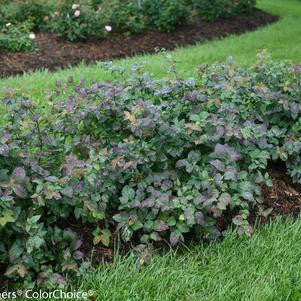 Spiraea Double Play 'Blue Kazoo'-#3 Container<br />Double Play? Blue Kazoo? Spirea