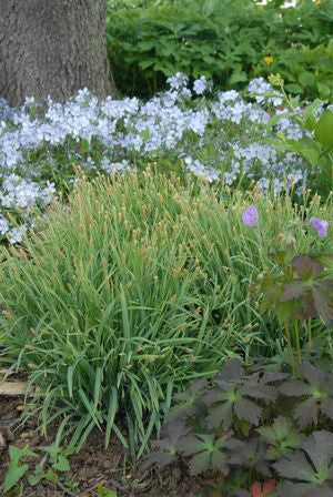 Carex laxiculmus 'Bunny Blue' -#1 Container<br />Bunny Blue Sedge