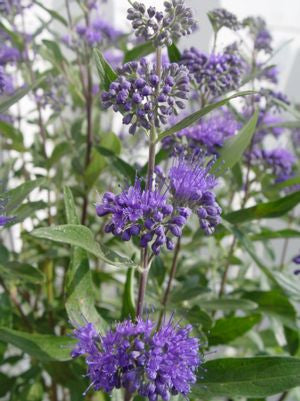 Caryopteris X clandonensis 'Dark Knight'-#3 Container<br />Dark Knight Blue Mist Shrub