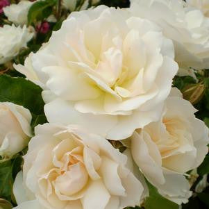 Rosa 'Champagne Wishes'-#2 Container<br />Champagne Wishes Shrub Rose