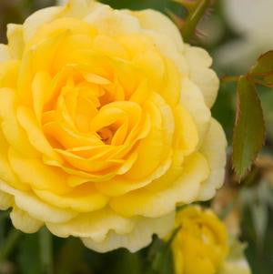 Rosa 'High Voltage'-#2 Container<br />High Voltage Shrub Rose