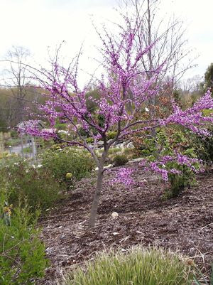 Cercis canadensis 'Forest Pansy'-#7 Container<br />Forest Pansy Redbud