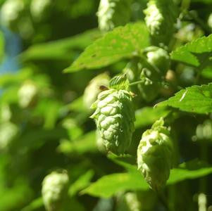 Humulus lupulus 'Cascade'-#2 Container<br />Cascade Hops