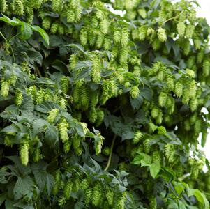 Humulus lupulus 'Nugget'-#2 Container<br />Nugget Hops