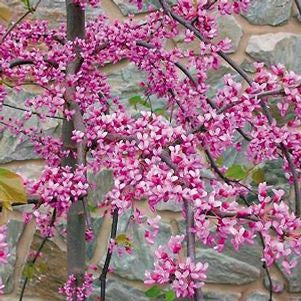 Cercis canadensis 'Pink Heartbreaker'-#15 Container<br />Pink Heartbreaker Redbud