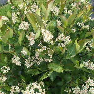 Aronia 'Lo Scape Hedger&#8482;'-#3 Container<br />Lo Scape&#8482; Hedging Aronia