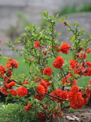 Chaenomeles Double Take&#8482;  'Orange Storm'-#2 Container<br />Double Take&#8482; Orange Storm Quince