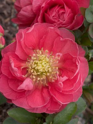 Chaenomeles Double Take&#8482;   'Pink Storm'-#2 Container<br />Double Take&#8482; Pink Storm Quince