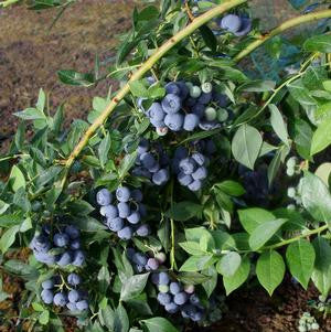 Vaccinium corymbosum 'Berries Galore'-#3 Container<br />Berries Galore Blueberry