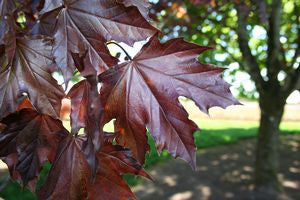 Acer platanoides 'Crimson King'-#15 Container<br />Crimson King Norway Maple