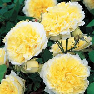 Rosa 'The Pilgrim'-#3 Container<br />The PIlgrim Climbing Rose