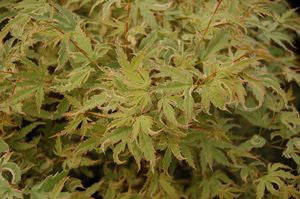 Acer palmatum 'Butterfly'-#5 Container<br />Butterfly Japanese Maple