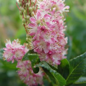 Clethra alnifolia 'Ruby Spice'-#5 Container<br />Ruby Spice Summersweet