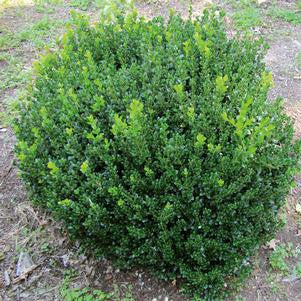 Buxus microphyla 'Little Missy'-#3 Container<br />Little Missy Boxwood