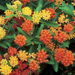Asclepias tuberosa 'Gay Butterflies'-#1 Container<br />Gay Butterflies Butterfly Weed