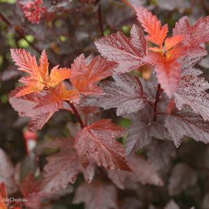Physocarpus opulifolius 'Ginger Wine™' - 3 Gal.