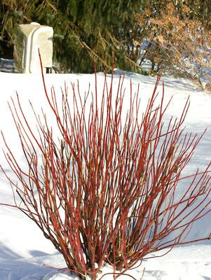 Cornus stolonifera 'Arctic Fire'-#3 Container<br />Artic Fire Dogwood