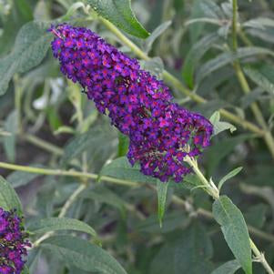 Buddleia MONARCH® 'Dark Dynasty' - 3 Gal.