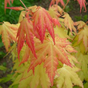 Acer palmatum 'Orange Dream'-#5 Container<br />Orange Dream Japanese Maple