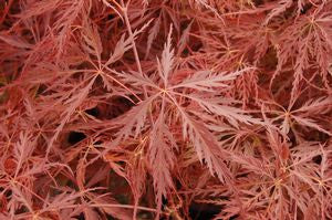 Acer palmatum dissectum 'Crimson Queen'-#3 Container<br />Crimson Queen Weeping Japanese Maple