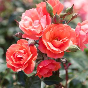 Rosa 'Coral Knock Out®' - 2 Gal.
