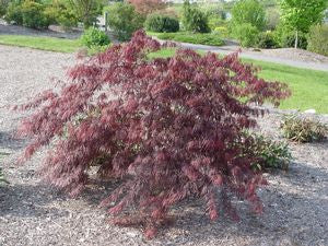 Acer palmatum dissectum 'Inaba Shidare'-#3 Container<br />Inaba Shidare Weeping Japanese Maple