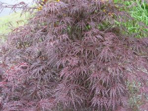 Acer palmatum Dissectum 'Tamukeyama'-#2 Container<br />Tamukeyama Threadleaf Weeping Japanese Maple