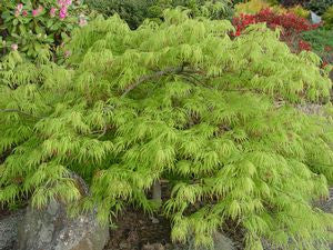 Acer palmatum Dissectum 'Viridis'-#3 Container<br />Green Threadleaf Weeping Japanese Maple