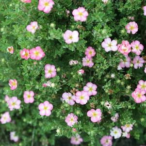 Potentilla frut. Happy Face Hearts® - 2 Gal.