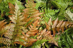 Dryopteris erythrosora 'Brilliance'-#1 Container<br />Brilliance Autumn Fern