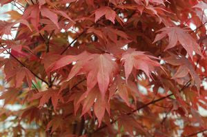 Acer palmatum 'Ruslyn In The Pink'-#2 Container<br />Ruslyn in the Pink Japanese Maple