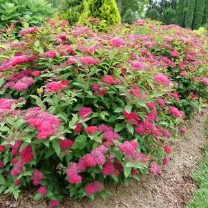 Spiraea jap. Double Play® Doozie™  NEW - 3 Gal.