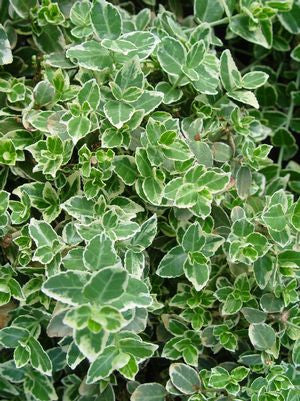 Euonymus fortunei 'Emerald Gaiety'-#3 Container<br />Emerald Gaiety Euonymus