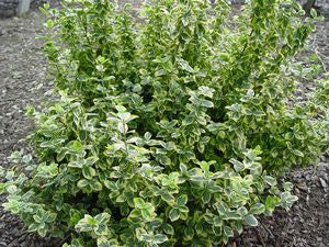 Euonymus fortunei 'Emerald N Gold'-#3 Container<br />Emerald n Gold Wintercreeper